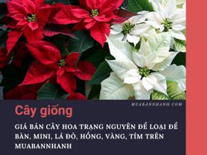 Giá bán cây hoa trạng nguyên để loại để bàn, mini, lá đỏ, hồng, vàng, tím trên MuaBanNhanh