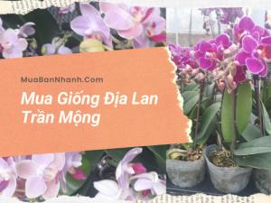 Mua giống địa lan Trần Mộng trên MuaBanNhanh - Nhận biết Lan Trần Mộng có mấy loại?
