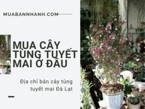Mua cây tùng tuyết mai ở đâu? Địa chỉ bán cây tùng tuyết mai Đà Lạt từ nhà vườn trên MuaBanNhanh
