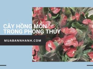 Ý nghĩa cây hồng môn trong phong thủy - Cây hồng môn đặt ở đâu trong nhà? Có độc không? Hợp với tuổi nào, mệnh gì?