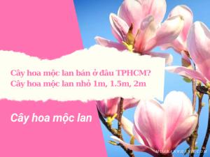 Cây hoa mộc lan bán ở đâu TPHCM? Cây hoa mộc lan nhỏ 1m, 1.5m, 2m
