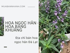 Địa chỉ bán cây hoa ngọc hân Đà Lạt - Tư vấn cách chăm sóc hoa ngọc hân từ nhà vườn trên MuaBanNhanh