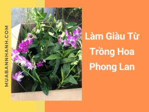 Làm giàu từ trồng hoa phong lan có giá trị kinh tế cao chơi Tết