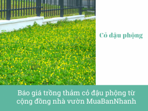 Báo giá trồng thảm cỏ đậu phộng từ cộng đồng nhà vườn MuaBanNhanh