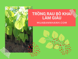 Trồng rau bò khai làm giàu - nhà vườn giống bò khai Tuyên Quang, Cao Bằng, Thái Nguyên, Lạng Sơn, Tây Nguyên