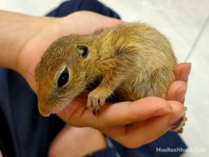 Sóc Nam Mỹ Chinchilla giá bao nhiêu? Shop mua bán sóc bông, sóc chuột baby tư vấn cách chăm sóc bé khỏe mạnh, hoạt bát