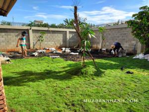 Các loại cỏ trồng sân vườn, sân bóng đá tự nhiên, cỏ kiểng đẹp làm cảnh quan tiểu cảnh