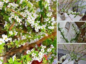 Hoa Tết hot trend 2021: hoa tuyết mai - bông tuyết trên cành mai