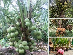 Top các loại dừa xiêm uống nước ngon nhất - Cơ sở dừa giống ngắn ngày, siêu trái, cao sản từ TPHCM