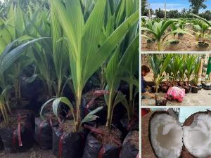 Top các giống dừa lấy dầu - Nhà vườn bán dừa giống sai quả, năng suất cao từ TPHCM