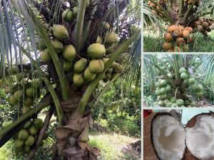 Top các giống dừa xiêm dừa khô có giá trị kinh tế cao, nhanh ra trái từ vườn ươm TPHCM