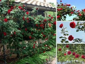 Nhà vườn bán gốc hồng cổ Hải Phòng - Tư vấn cách chăm sóc, cắt tỉa, uốn, làm giàn, xử lý lúc không ra hoa