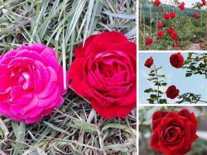 Giá hoa hồng cổ Hải Phòng nguyên bản, đột biến, ghép - Mua hoa hồng leo cổ Hải Phòng ở đâu?