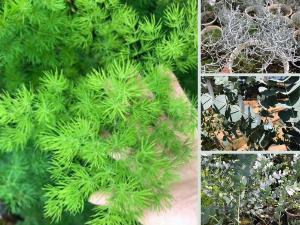 Làm kinh tế từ trồng cây phụ liệu cắm hoa - Nhà vườn cung cấp giống cây lấy lá làm phụ kiện trang trí, cắm bông