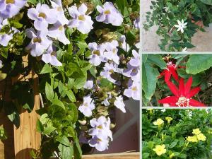 Top 25 cây leo có hoa thơm, đẹp quanh năm, dễ trồng, chống nắng, ít rụng lá làm giàn hoa trước nhà, ban công