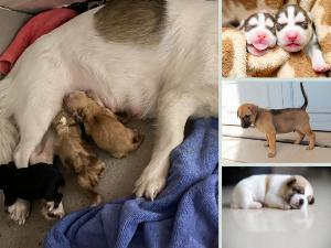 Nuôi chó con 1 tháng tuổi: thực đơn ăn gì, tắm được chưa, uống sữa gì, tẩy giun, tiêm phòng, vệ sinh đúng cách