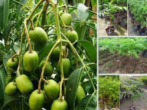 Mua cây giống cóc thái ở Hà Nội - Giống cây cóc Thái Lan cây lùn, trái to, sai quả