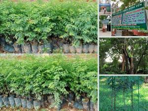 Vườn ươm mun sừng giống cung cấp cây con, hạt giống, trái mun sừng từ Tuyên Quang trên MuaBanNhanh